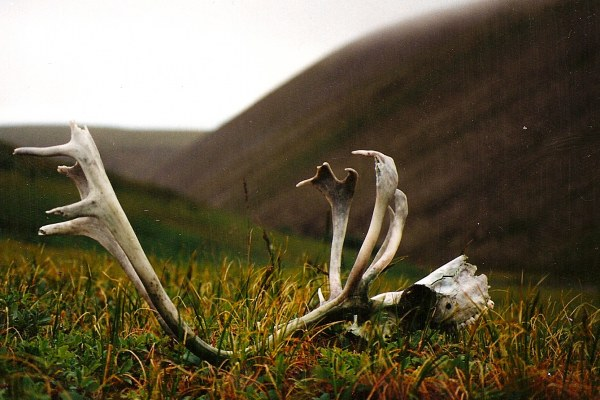 Cape Thompson-caraboo_antlers